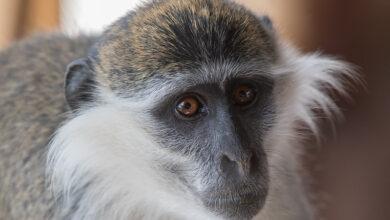 صورة إيران تكشف عن نجاح تجارب لقاح ضد كورونا على القردة