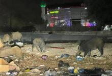 صورة بالصور.. الخنازير تغزو العاصمة تونس