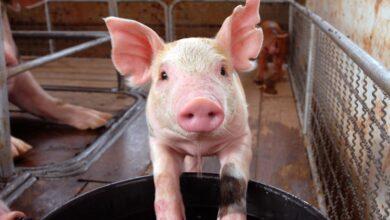صورة لأول مرة.. زراعة كلية خنزير في جسم إنسان